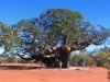 The largest Boab we have seen, between Derby & Fitzroy Crossing WA