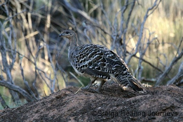 Male Malleefowl on its mound/nest.