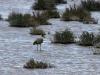 Masked Lapwing on Playa Lake