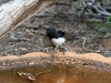 Young Willy Wagtail at the birdbath