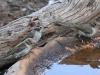 Brown-headed Honeyeaters at the birdbath