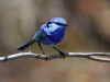 Male Splendid Wren in full breeding colour