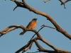 White-browed Woodswallow, late afternoon