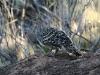 Male Malleefowl on its mound/nest.