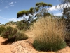 Spinifex