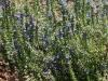 Blue rod (Stemodia Floralenta)