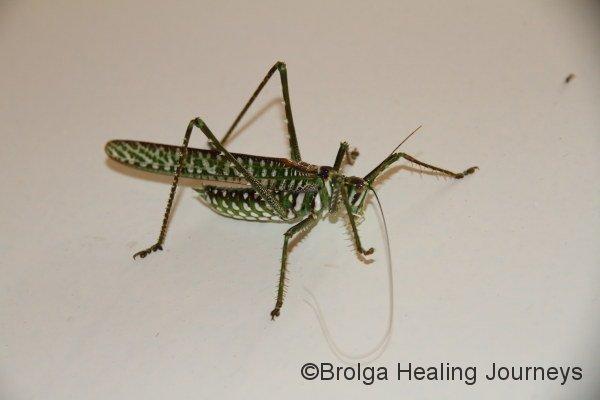 Another beautiful grasshopper/locust