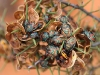Colourful young stink-bugs on Acacia seeds