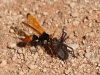 A Hornet drags off its spider prey