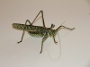 Another beautiful grasshopper/locust