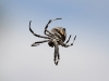 Another Orb-weaving spider