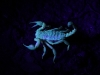 A beautiful Scorpion, viewed with UV torches. Thanks to Honours student Colin for taking us with him on his fieldwork