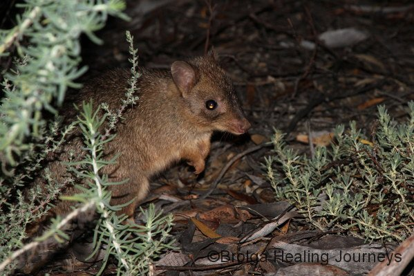 Woylie (Brush-tailed Bettong), seen during night-time distance sampling.