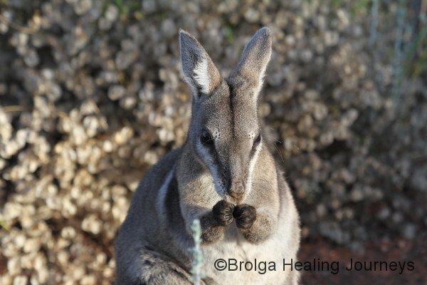 Close-up of Bridled Nailtail Wallaby.  Full marks for cuteness