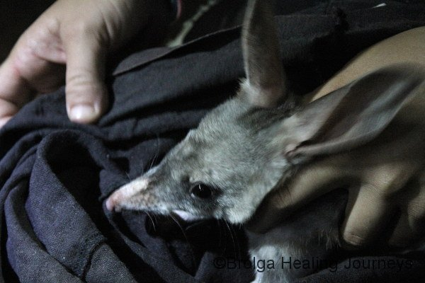 Close-up showing the long snout of the Bilby