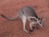 Bridled Nailtail Wallaby.  These exquisite creatures are nearly extinct in the wild.