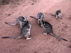 Bridled Nailtail Wallabies at feeding time