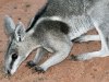Close-up of Bridled Nailtail Wallaby.