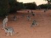 Bridled Nailtail Wallabies at feeding time