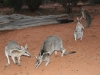 More Bridled Nailtail Wallabies