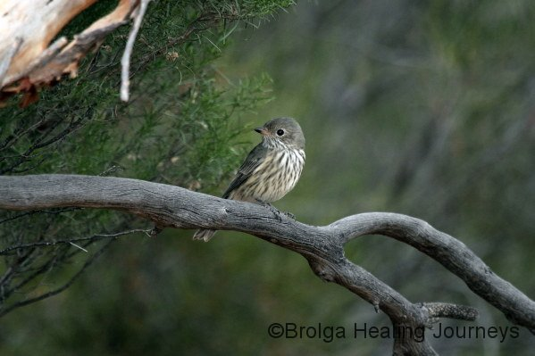 Juvenile Rufous Whistler (we think)