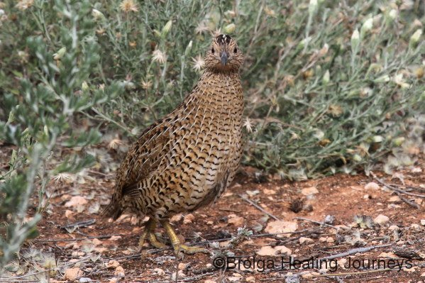 Stubble Quail or Brown Quail, we weren't sure