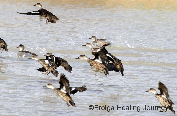 Grey Teal ducks take off from Tarara dam.