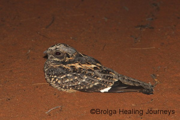 Spotted Nightjar on road at night during spot-lighting in Stage 2