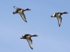 Hardhead ducks in flight