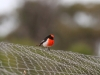Male Red-Capped Robin
