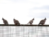 Crested Pigeons on the gate