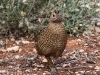 Another view of the Stubble Quail or Brown Quail