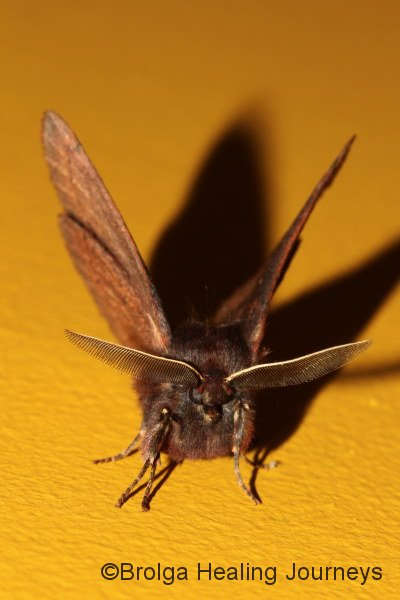 An amazing moth in our quarters.  We nicknamed this the Bat Moth