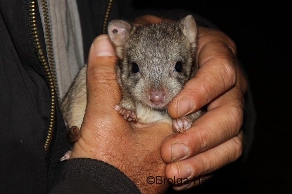 Close-up of a Boodie joey.  