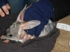 Bilby during trapping