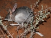 The Bilby after release