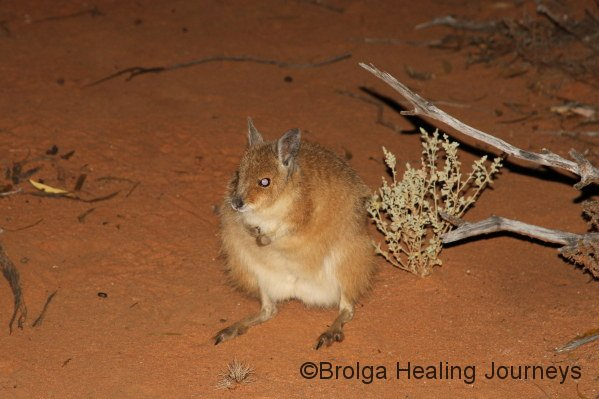 A Mala (Rufous Hare Wallaby) with its thick winter coat