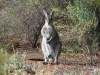 Bridled Nail-tail Wallaby.  Yes, it's a boy!