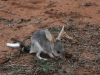 A young Bilby, unusually seen out before dark