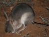 A Bilby near our accommodation.  A real treat to see at night.