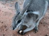 """Chip"" a hand-raised Bridled Nail-Tail Wallaby, a regular visitor in the house paddock"