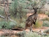 Large male Western Grey Kangaroo outside Stage 1, seen during fence patrol.  Check out the size of that tail.