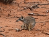 Numbat seen during fence patrol