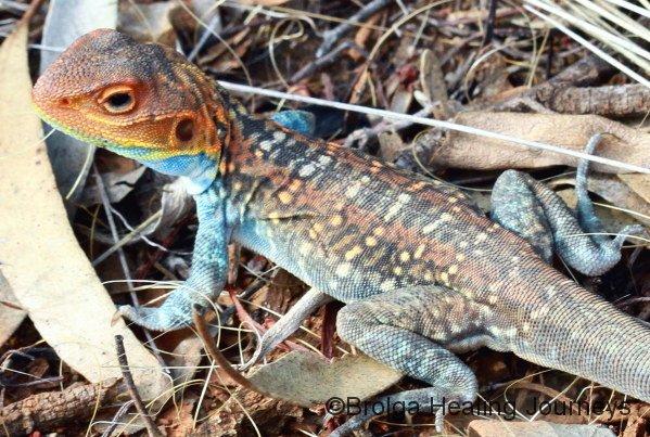 Male Painted Dragon (Ctenophorus pictus) close-up