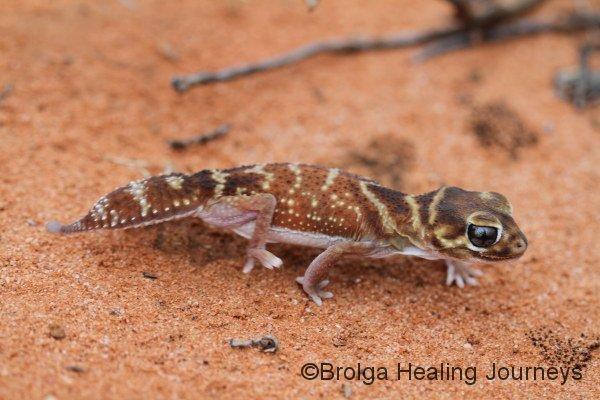 A Smooth Knob-tailed Gecko (Nephrurus levii).