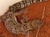 Marbled Velvet Gecko (Oedura marmorata) in a pitfall bucket.