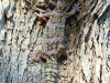 A well-camouflaged Marbled Velvet Gecko returned to a tree after processing.