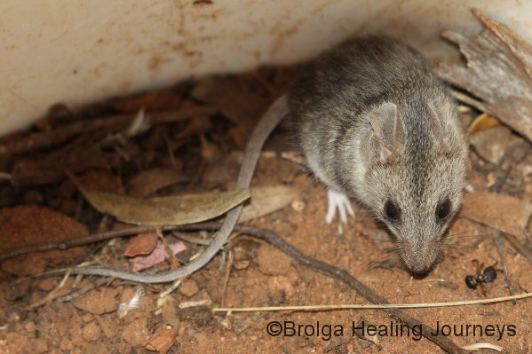 Common Dunnart in a pitfall bucket.