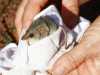 Common Dunnart during processing.