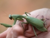 A Praying-mantis from a pitfall bucket.
